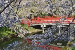red japanese bridge and sakura tree in the garden