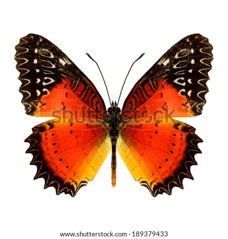 Red Lacewing butterfly upper wing profile isolated on white background(Cethosia biblis)