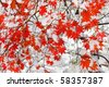 red maple tree under snow - stock photo