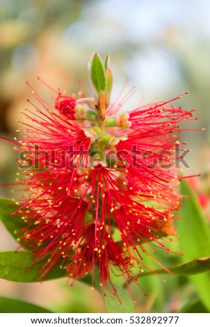 Red Needle Flower