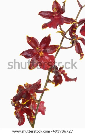 Red orchid. isolated