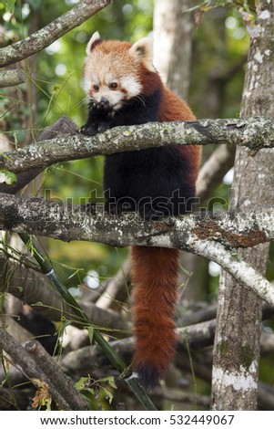 Red panda in the forest for background use
