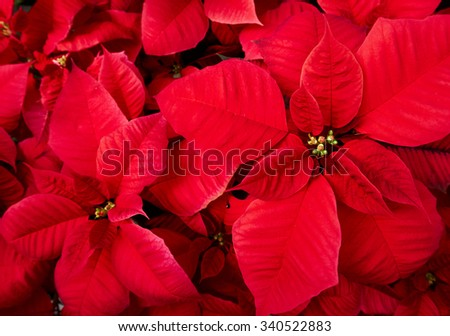Red poinsettia.Often seen at Christmas period.