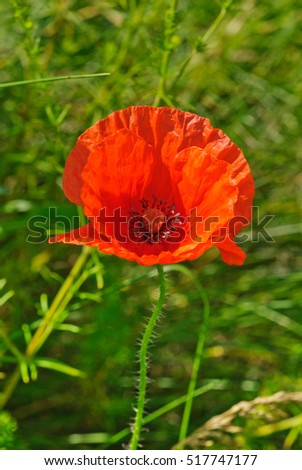 Red poppy blooming on field.Macy's spring and summer flowers.Selective focus.