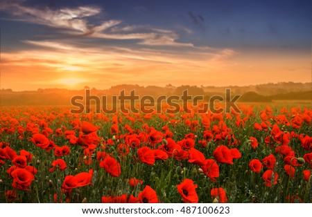 Red poppy field over sunset, Brittany France