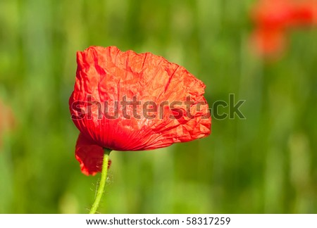 Red poppy in a green grass field