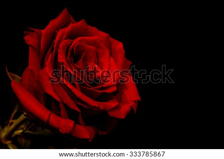 Red rose closeup isolated on a black background