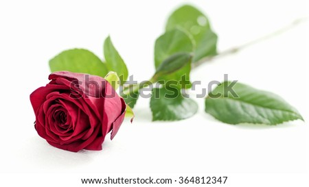 red rose on white background, shallow depth of field