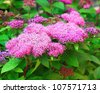 Red spirea branch on sunny day - stock photo