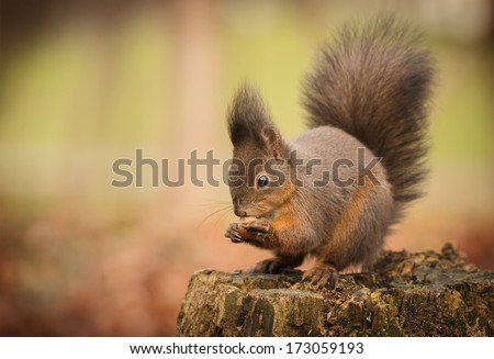 Red squirrel on rotten tree stump with a hazel nut