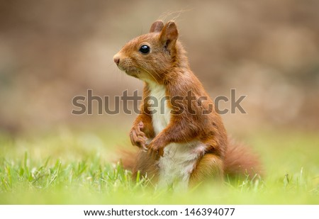 Red Squirrel sits on grass