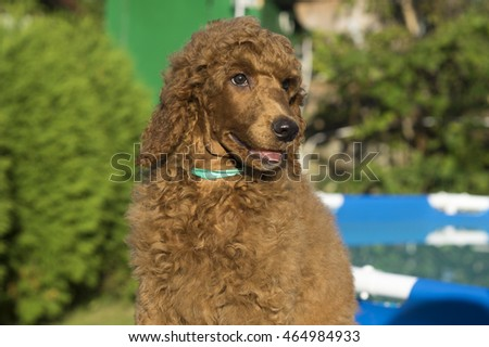 Red standard poodle puppy