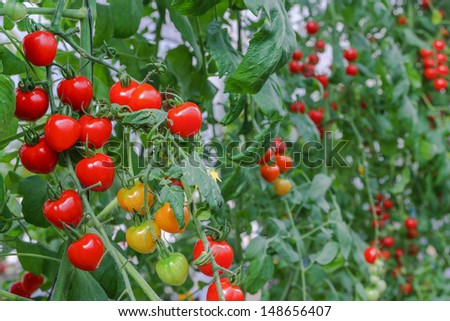 red tomatoes on the bushes