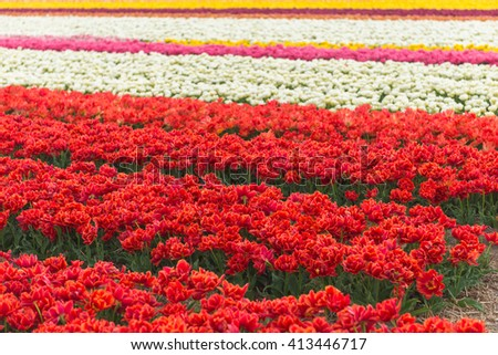 Red tulip field in North Holland during spring