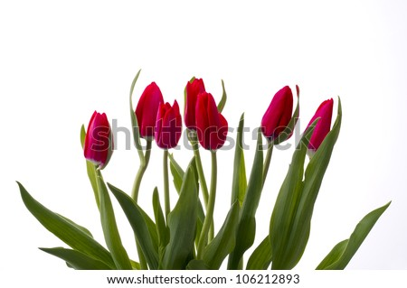 red tulip on white backgroud