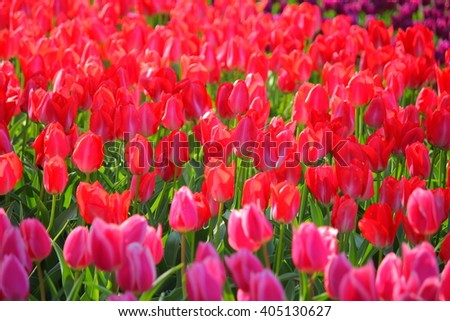 When are tulips in season? - Quora