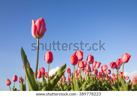 Red tulips with a blue sky in a flowerbed during Spring season in the Netherlands