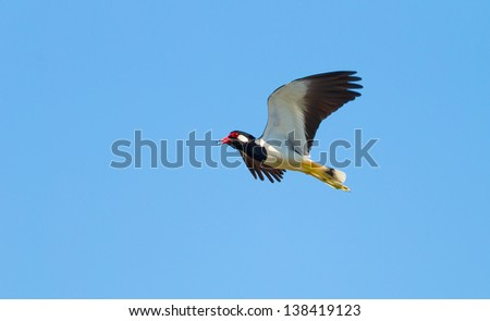Red-wattled Lapwing bird ( Vanellus indicus ) flying in the sky