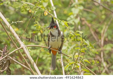 Red-whiskered Bulbul in a tree in Nagarhole National Park in India