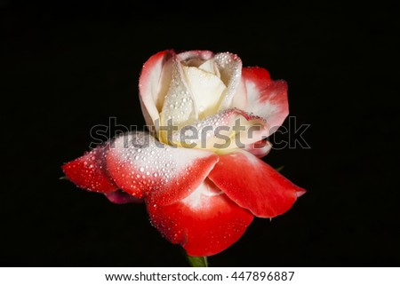 red-white rose on a black background