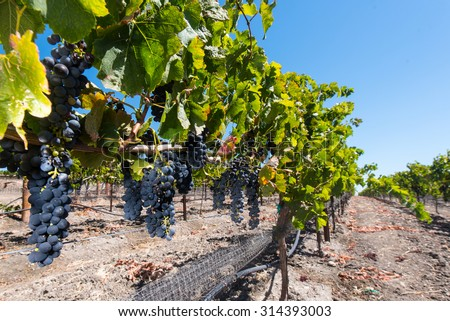 Red wine grapes in a vineyard waiting to get picked