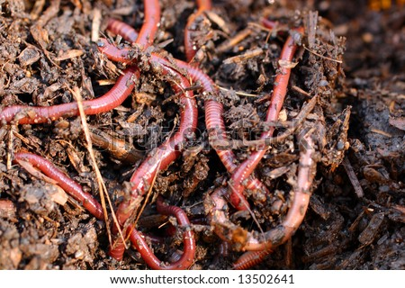 Earthworms soil eisenia fetida stock photo 376501135 for Red worms for fishing