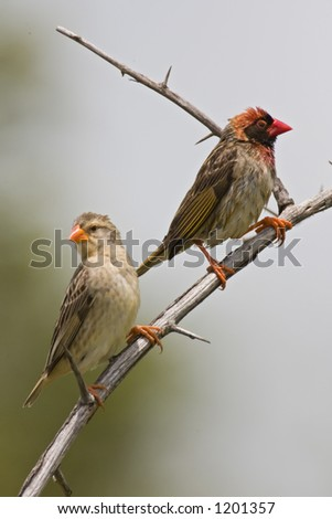 Redbilled Quelea - male and female : Quelea quelea  : South Africa