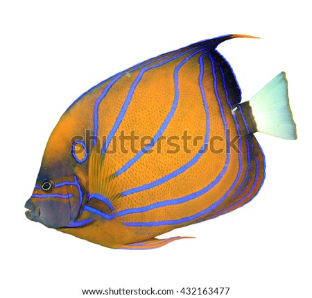 Reef fish cut out isolated on white background: Blue-ringed Angelfish