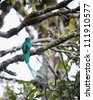 Resplendent Quetzal in a tree, Costa Rica - stock photo