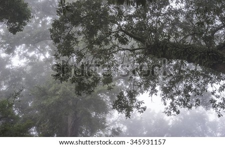 Resurrection Fern thrives in the hot humid south on huge Live Oak Trees. View shown looking up into the forest canopy in dense daybreak fog. Good background or mood shot.