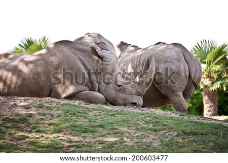 Rhinoceroses laying on the ground