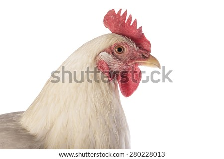Rhode Island white chicken hen head shot isolated on white background