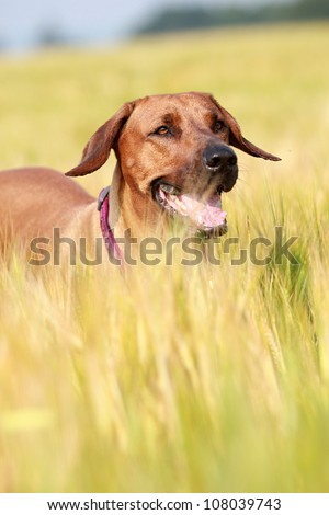 Rhodesian ridgeback dog in the rye field