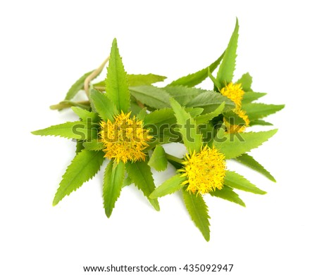 Rhodiola rosea (commonly golden root, rose root, roseroot, western roseroot, Aaron's rod, Arctic root, king's crown, lignum rhodium, orpin rose). Isolated on white background.