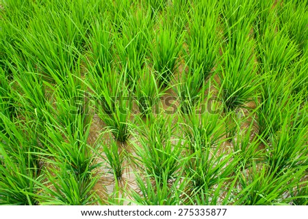 Rice growing on a terrace field. Rice paddy