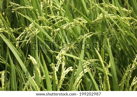 Rice In Rice Fields