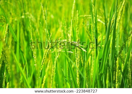 Rice Paddy Grains