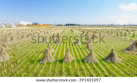 Rice straw hay in paddy field. The rice field at roadside in Japan.