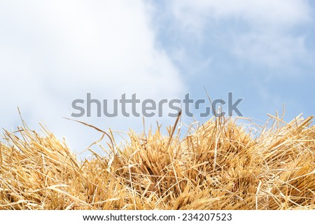 Rice straw on blue sky background, Thailand.