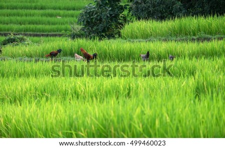 Rice terraces in rice fields on mountain. Green rice fields in Chiang mai, Thailand.