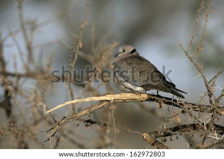 Ring-necked dove or Cape turtle dove, Streptopelia capicola, single bird on branch, Tanzania