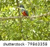 Ringed Kingfisher on branch in jungles - stock photo