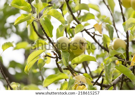 ripe apples on a tree branch