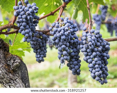 Ripe bunches of red wine grape on the vines, ready to harvesting