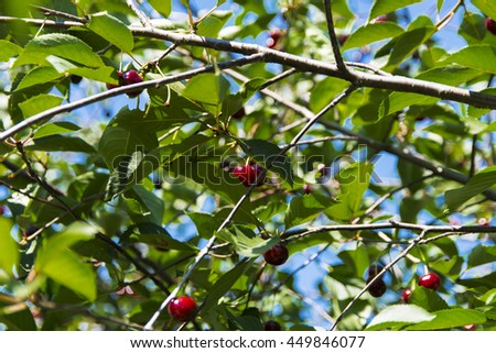 Ripe cherries in the garden of a private house