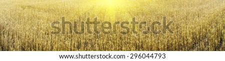 Ripe gold wheat field can be used as background.