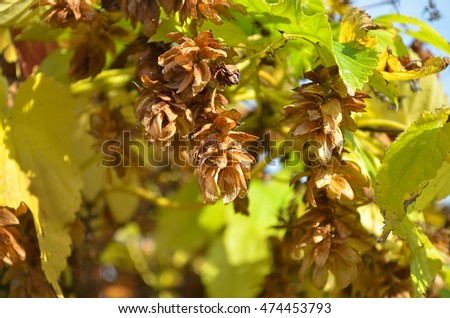 Ripe hops in autumn