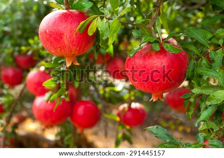 Ripe pomegranate fruit on tree branch