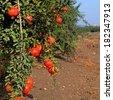 Ripe pomegranates on the plantation - stock photo