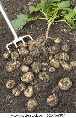 Ripe potatoes in soil with digging fork